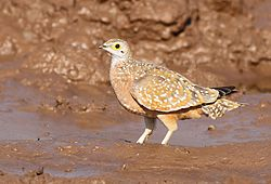 Burchell's sandgrouse, Pterocles burchelli, at Mapungubwe National Park, Limpopo, South Africa (17952337496).jpg