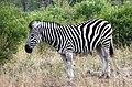 Burchells Zebra (37449706454).jpg