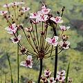 Butomus umbellatus-IMG 4697.jpg