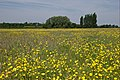 Buttercup meadow near Tutbury - geograph.org.uk - 837788.jpg