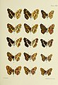 Butterflies from China, Japan, and Corea (1892) (20322724078).jpg