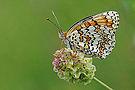 Butterfly Knapweed Fritillary - Melitaea phoebe.jpg