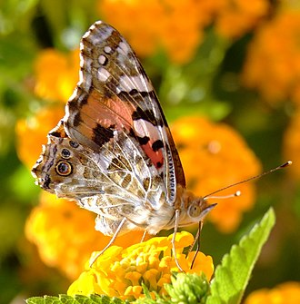 Australian painted lady - Image: Butterfly on yellow flower