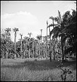 CH-NB - Portugal, San Thomé (São Tomé und Príncipe)- Palmen - Annemarie Schwarzenbach - SLA-Schwarzenbach-A-5-25-017.jpg