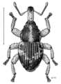 COLE Curculionidae 1.png