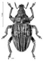 COLE Curculionidae Psepholax sulcatus.png
