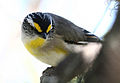 CSIRO ScienceImage 3173 Striated Pardalote.jpg