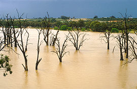 CSIRO ScienceImage 4235 Dead gum trees in the Murray River near Blanchetown SA 1989.jpg
