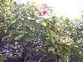 Cajueiro frutificando.jpg