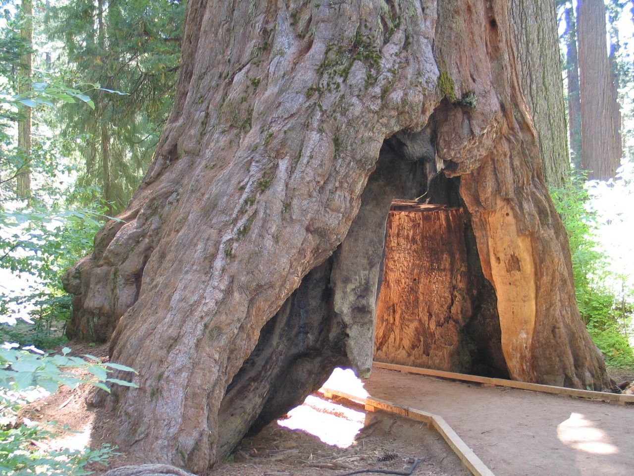 Photo of the tree from 2006. Tree has a tunnel through center of trunk. There is a marked path for people to walk through it.