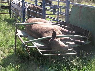 Cattle chute - A calf race leading to a calf cradle