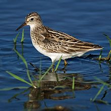 Calidris subminuta PA021275.jpg