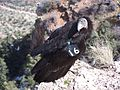 California Condor (5205534268).jpg