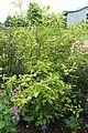Callicarpa bodinieri - RHS Garden Harlow Carr - North Yorkshire, England - DSC01111.jpg
