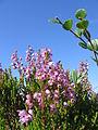 Calluna vulgaris betula nana kiiminki 02.jpg