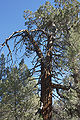 Calocedrus decurrens Big Bear Lake 3.jpg