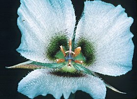 Calochortus howellii (Howell's mariposa lily) (33171541356).jpg