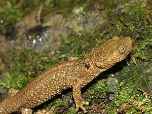 Pyrenean brook salamander - Calotriton asper - MHNT