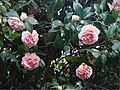Camellia flowers - Flickr - Matthew Paul Argall (1).jpg