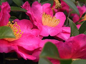 Camellia - Camellia sasanqua is used as a garden plant, its leaves are used for tea, and its seeds for oil