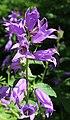 Campanula latifolia BotGardBln 20170610 J.jpg