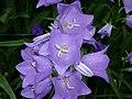 Campanula rotundifolia 7.JPG