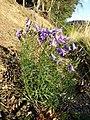 Campanula rotundifolia sl13.jpg