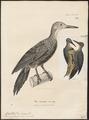 Campethera gutturalis - 1700-1880 - Print - Iconographia Zoologica - Special Collections University of Amsterdam - UBA01 IZ18700291.tif