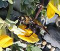 Campsomeriella thoracica 2.jpg