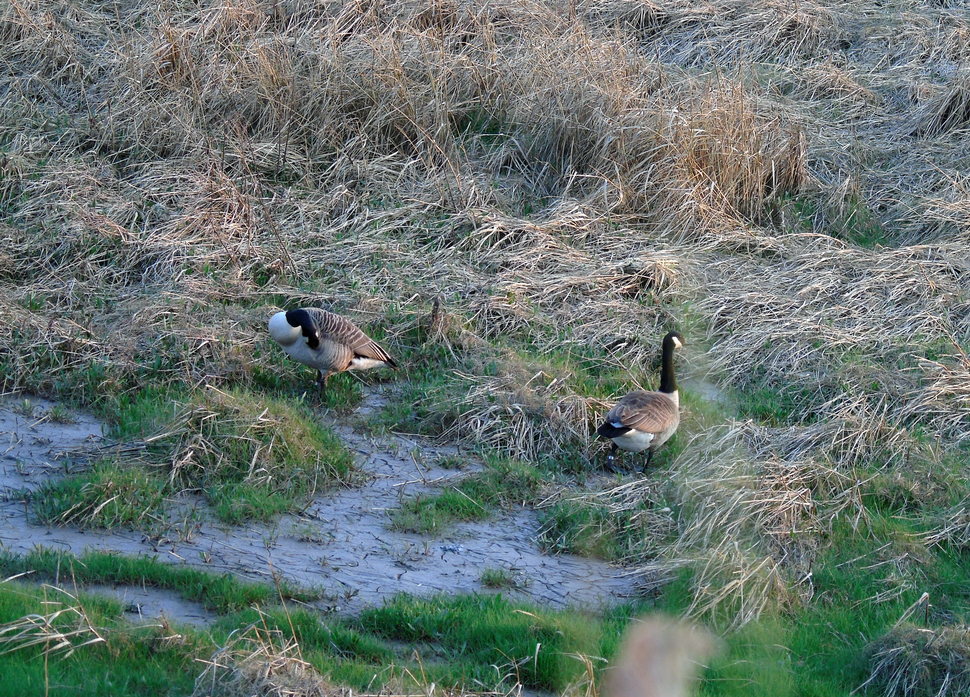 Canadian Geese Near Newport Wetlands RSPB Reserve Lighthouse