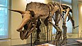 Canadian Museum of Nature Triceratops.jpg