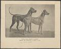 Canis lupus familiaris - 1889 - Print - Iconographia Zoologica - Special Collections University of Amsterdam - UBA01 IZ22300053.tif