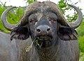 Cape Buffalo (Syncerus caffer) bull close-up (11492986276).jpg