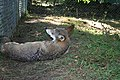 Captive male red wolf at Sandy Ridge (6351224992).jpg