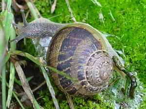 Caracol-snail with feces.jpg