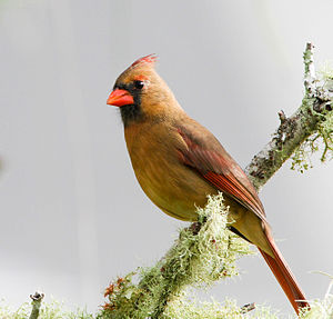 Northern cardinal - Female in Florida, US