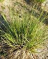 Carex elata plant (07).jpg