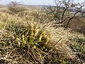 Carex humilis sl30.jpg