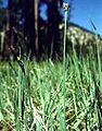 Carex livida.jpg