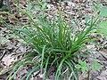 Carex sylvatica plant (3).jpg