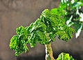 Carica papaya young leaf 03 10 2012.jpg