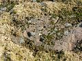 Carlin Crags - Cup marks - rock-face 1.JPG