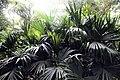 Carludovica palmata 11zz.jpg