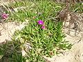 Carpobrotus glaucescens plant3 (8417376613).jpg