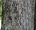 Carya illinoinensis (pecan tree) 5 (24790646717).jpg