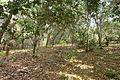 Cashew Nuts ernten mit Family Thong in Ratanakiri 20.JPG