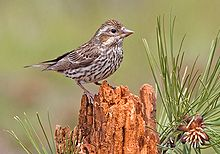 Cassin's Finch (female).jpg