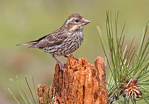 Cassin's finch - Female
