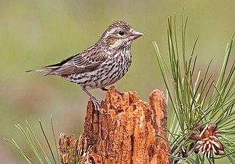 Cassin's finch - Female