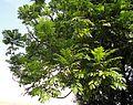 Castanospermum australe, lower, Louwsburg.jpg